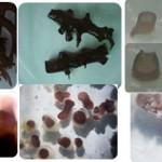 Penelitian dan Pengembangan Kultur Jaringan Rumput Laut – 1