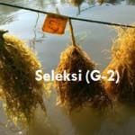 Produksi Bibit Unggul Rumput Laut Melalui Seleksi – 2