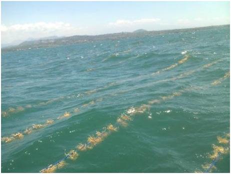 Gambar 9. Bibit rumput laut yang telah terpasang di lokasi budidaya