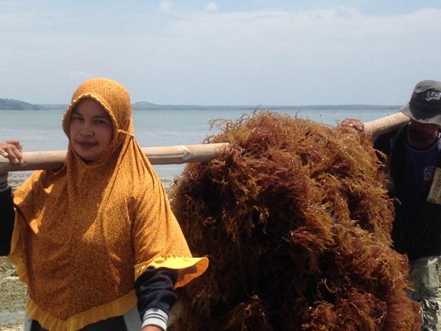 Membawa hasil panen bibit rumput laut ke lokasi penimbangan
