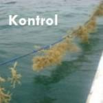 Produksi Bibit Unggul Rumput Laut Melalui Seleksi